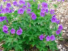 Eight Recommended Shade Loving Perennials (Geranium macrorrhizum shown)