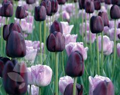 Tulipa Shirley & Tulipa Queen of Night