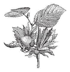 hazelnut tree: Hazel or Corylus sp., showing flowers with nuts, vintage engraved illustration. Dictionary of Words and Things - Larive and Fleury - 1895