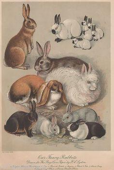 GENUINE-C-1890-PRINT-PRIZE-FANCY-RABBIT-HARE-SHOW-RARE-BREED-PET