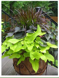 For Sun...  Purple Fountain Grass,   Blackie Sweet Potato Vine,   Margarita Sweet Potato Vine