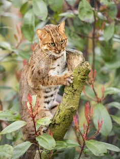 Rusty Spotted Cat by colinlangford1. For more photos: http://photos-cats-kittens.tumblr.com @go4fotos