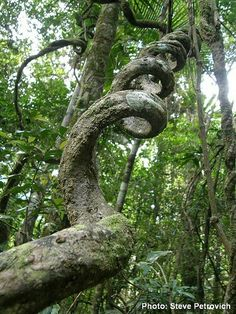 This tree s all screwed up! ~ I wonder if it's a Cork Tree? Bonsai For Beginners, Weird Trees, Twisted Tree, Twisted Oak, Magical Tree, Unique Trees, Old Trees, Tree Branches, Tree Roots