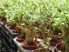 serissa bonsai - Pesquisa Google