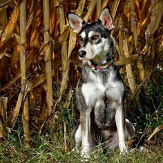 Meet KEELY a Husky available for adoption in Clarinda, IA