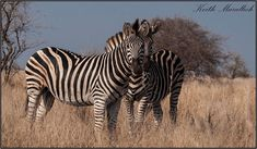 Photos from our tours… #12, 2020:- Some #zebra head's up, also in the #Kruger Park.  Pied #kingfisher at #Zimanga.  #Samango monkey inside #HilltopCamp in the #HluhluweImfoloziPark.  A common-and-garden Thick-billed Weaver. Head S, Kingfisher, Monkey, Tours, Camping, Park, Garden, Photos, Photography