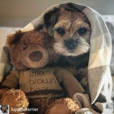 Some Helpful Ideas For Training Your Dog. Loving your dog does not mean you are willing to let him go hog wild on your possessions. That said, your dog doesn't feel the same way. Border Terrier Puppy, Terrier Puppies, Terriers, Pet Dogs, Dogs And Puppies, Doggies, Fluffy Puppies, Cute Boarders, Animals And Pets