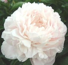 US peony grower and hybridizer - peonies are what we do. Our assortment includes new cultivars, cut flower sorts, bush peonies, historic varieties and a whole lot more. Large Flowers, Exotic Flowers, Purple Flowers, Beautiful Flowers, Yellow Roses, Pink Roses, Rock Garden Plants, Daffodil Flower, Cactus Flower