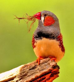 Zebra Finch - Taeniopygia Guttata. For more photography, go to our website: http://www.photographytalk.com/