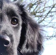 Flat Coated Retriever Pup ~ Classic Look & Trim Flat Coated Retriever, Baby Animals, Cute Animals, Retriever Puppy, Cocker Spaniel, Large Dogs, Mans Best Friend, Dog Friends, Dogs And Puppies