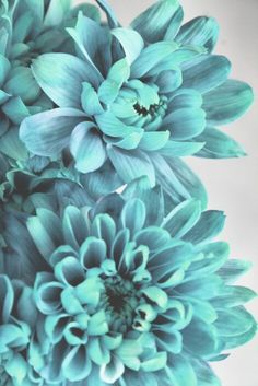Turquoise flowers, always a must! Magenta, Turquoise And Purple, Turquoise Flowers, Aqua Blue, Verde Tiffany, Tiffany Blue, Shades Of Turquoise, Shades Of Blue, Love Flowers