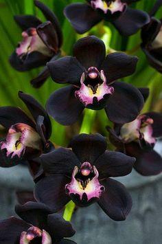 Cymbidium Kiwi Midnight orchid