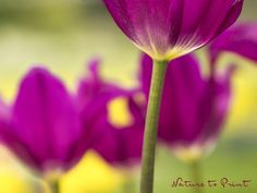 Leinwandbild im Wunschformat mit lila Tulpen vor Gelb