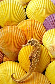 Yellow shells and seahorse