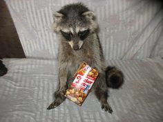 Stuffed Raccoon with Cracker Jacks: I have never wanted anything as much as this.