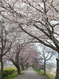 菰野町菰野地区 菰野町庁舎南、菰野大橋付近の桜並木 平成24年4月9日撮影