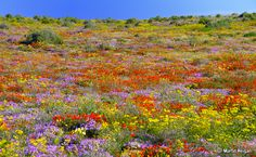 Most Colourful Places on the Globe - By The wild flowers of Namaqualand, South Africa. By Martin Heigan Wild Flower Meadow, Wild Flowers, Meadow Flowers, Pretty Flowers, South Afrika, Exotic Plants, Africa Travel, Spring Flowers, Wonders Of The World