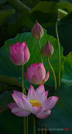 The lotus is a symbol of purity. Its roots are in the mud, but the flower remains above dirty water. Live a lotus life, be in the world, but unaffected by impurities. Amazing Flowers, My Flower, Flower Art, Beautiful Flowers, Art Floral, Bloom, Nymphaea Lotus, Pink Lotus, Flowers Nature