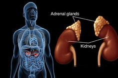Taking good care for your adrenals glands is the key to optimal health, longevity, a good weight, and happiness.