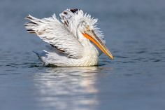 Photographing Dalmatian pelicans at Lake Kerkini in Greece. Februari is the start of their breeding season an then they show their beautiful feathers and beak colours. Dalmatian, Feathers, Greece, Nature Photography, Colours, Seasons, Bird, Animals, Beautiful
