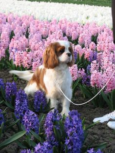 Cavalier King Charles Spaniel Amongst Spring Blooms!  Beautiful Beautiful Beautiful!