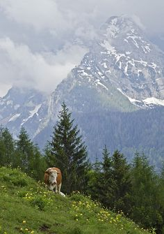 Alpine Cows by PictureOnTheWall, via Flickr May 2012 Berchtesgaden, Germany