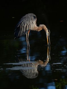 . Great Blue Heron (Ardea herodias).  Morning Kiss