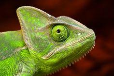 Хамелеон (фото): Настоящий конспиратор животного мира
