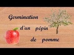 COMMENT FAIRE UNE GERMINATION ET PLANTATION D'UN PÉPIN DE POMME. RAPIDE ET FACILE - YouTube