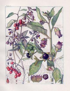 Deadly Nightshade- Wild Flower Botanical Print by Isabel Adams - Antique Print