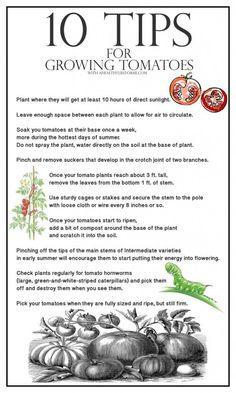 Growing Tomatoes Tips 10 Tips for Growing Green Beans - A Healthy Life For Me - 10 Tips for Growing Green Beans Growing Green Beans, Tips For Growing Tomatoes, Growing Peppers, Growing Greens, Growing Veggies, Grow Tomatoes, Planting Green Beans, How To Grow Cucumbers, Growing Sunflowers
