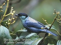Black-capped Tanager.