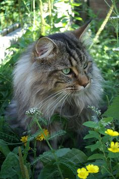 """Maine Coon cat                             This is exactly my """"Fluffy"""" she's one of our stray cats that lives on our back porch, she's so loving, how could any one let her go!!"""
