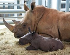 After a 16-month gestation period, Kendi delivered her fourth calf Friday, May 4. The healthy male, which has not yet been named, is the ninth white rhino born at Disney's Animal Kingdom; his mother, 13-year-old, Kendi, was the first.