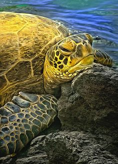 turtle resting on lava rock