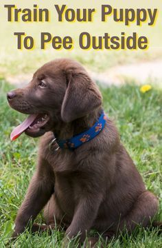 How To Train A Puppy To Pee Outside Training Your Puppy Dog