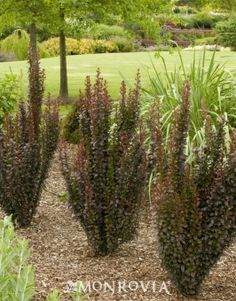 This upright, deep purplish red columnar shrub makes quite a statement in the landscape. The unique form is ideal as an architectural feature or for framing a doorway. The excellent, richly colored foliage pairs beautifully with shrubs and perennials with Framing Doorway, Monrovia Plants, Deer Resistant Plants, Plant Catalogs, Sun And Water, How To Attract Birds, Garden Shrubs, Love Garden, Trees And Shrubs