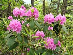 Rhododendrons are my little piece of mountain wildlife in my backyard!