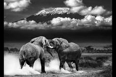 Kilimanjaro - I want to trekk the Highest Mountain in Africa, At Km, before the snow melts completely (Elephant tussle in the shadow of Mt. Elephants Photos, Save The Elephants, Elephant Love, Elephant Gifts, African Animals, Animals Of The World, Nature Animals, Safari Animals, Animal Kingdom