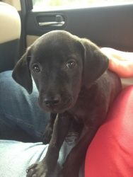 love this pup. All pups are black. Father is a chocolate lab and mother is a vizsla lik...