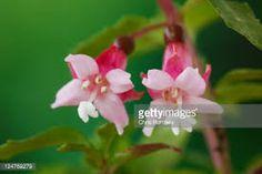 Bildresultat för encliandra fuchsia