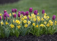 'Tete a Tete' daffodils mixed with 'Purple Flag' tulips