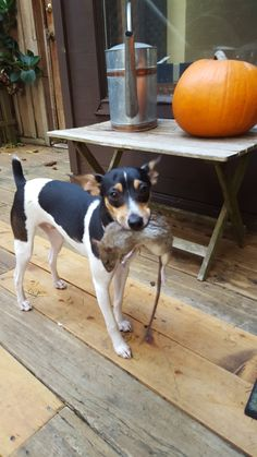 "Finnegan, Rat Terrier ""Did someone say they had a rat problem? Jack Terrier, Rat Terrier Dogs, Toy Fox Terriers, Jack Russell Terrier, Cute Puppies, Cute Dogs, Dogs And Puppies, Doggies, Puppy Pictures"