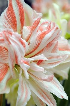 Hippeastrum 'Dancing Queen'...bought some of these bulbs in Keukenhoff, Holland!