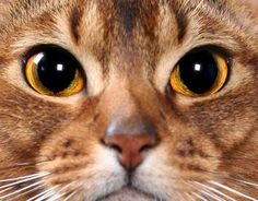 Abyssinian cats for sale sacramento
