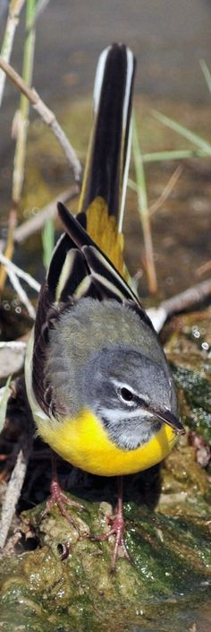 The Grey Wagtail (Motacilla cinerea) is a small member of the wagtail family, Motacillidae. The bird is widely distributed across the Palearctic region with several well marked populations. The nominate form (includes caspica of Iran, Turkey and the Caucasus) is from western Europe including the British Isles, Scandinavia and Mediterranean region and central Asia mainly along the mountain chains of the Urals, Tien Shan and along the Himalayas.[5] They winter in Africa and Asia.