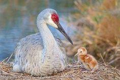 Newborn Sandhill Crane Baby at Nest
