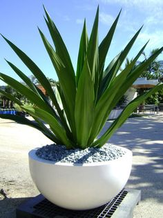 Sculptural Foliage: Furcraea do this with mother in law tongue Outdoor Planters, Concrete Planters, Outdoor Gardens, Large Planters, Front Yard Landscaping, Tropical Landscaping, Back Gardens, Tropical Garden, Plant Decor
