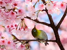 A bird sits on a branch of a blooming cherry tree at a park in Tokyo on 1 April 1. Cherry trees bloomed in Tokyo on 31 March, five days later than usual year, Japanese authorities announced. Photograph: Yoshikazu Tsuno/AFP/Getty Images