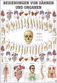 of teeth and organs Yoga, yoga mats & yoga accessories - Relationship of teeth and organs – Rüdiger Anatomie -Relationship of teeth and organs Yoga, yoga mats & yoga accessories - Relationship of teeth and organs – Rüdiger Anatomie - iridology chart Oral Health, Dental Health, Health Tips, Health Care, Massage Therapy, Health And Wellbeing, Dentistry, Health Remedies, Natural Health